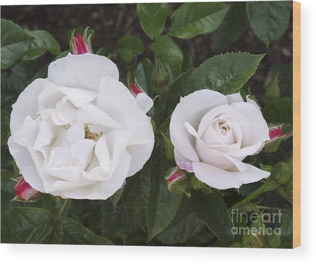 Rose Wood Print featuring the photograph Rose (rosa 'pearl Drift') by Neil Joy