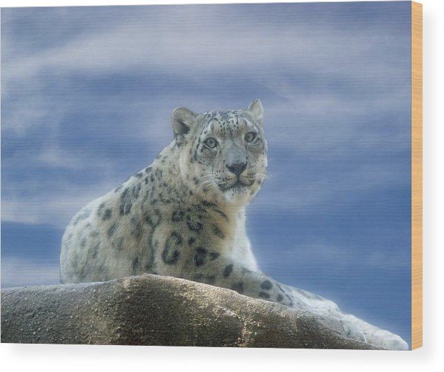 Snow Leopard Wood Print featuring the photograph Snow Leopard by Sandy Keeton