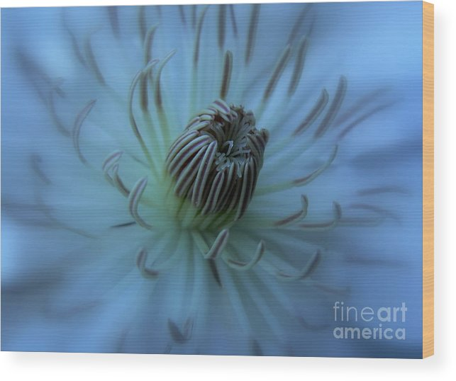 Clematis Wood Print featuring the photograph Soft Stamens by Laura Louise
