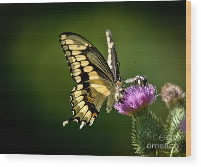 Wood Print featuring the photograph Swallowtail And Friends by Cheryl Baxter