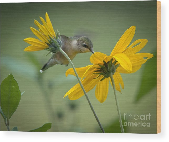Ruby-throated Hummingbird Wood Print featuring the photograph Yellow And Green by Cheryl Baxter