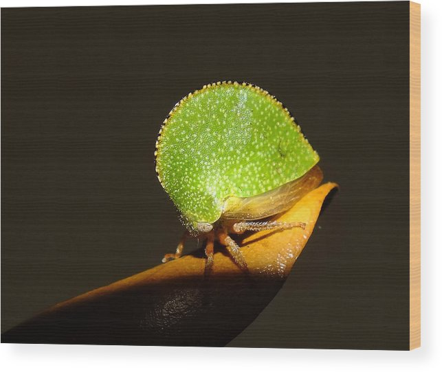 Insect Wood Print featuring the photograph Eared Treehopper by Bill Morgenstern