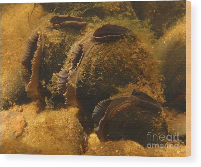 Freshwater Wood Print featuring the photograph Freshwater Pearl Mussels by Eugene Ross