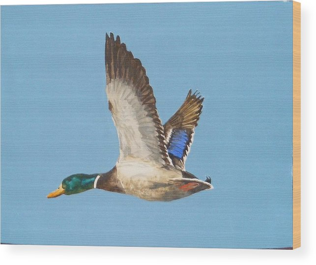 Duck Wood Print featuring the painting Mallard Drake by Diane Ziemski