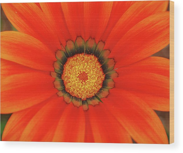 Daisy Wood Print featuring the photograph The Beauty Of Orange by Lori Tambakis