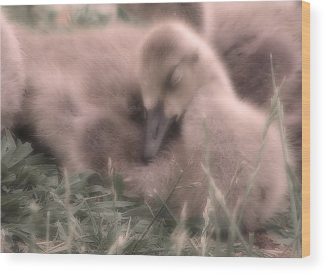 Goose Wood Print featuring the photograph All Is Right In My World by Kenneth Krolikowski