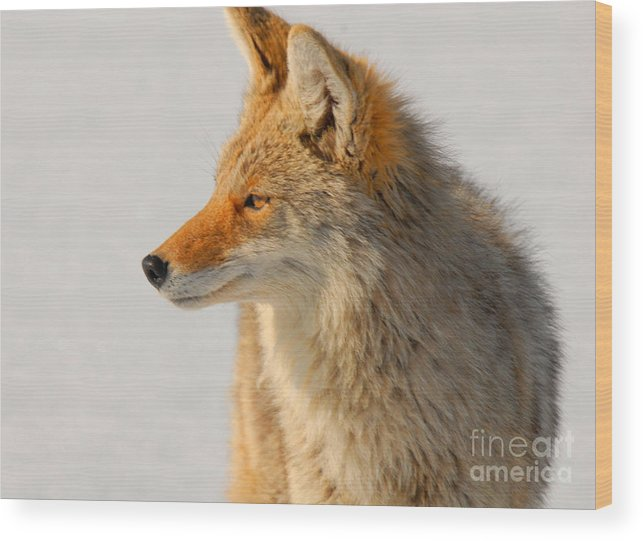 Coyote Wood Print featuring the photograph Coyote by Dennis Hammer
