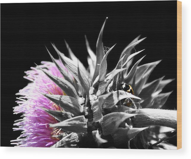 Thistle Wood Print featuring the photograph Lady Bug Thistle by Karl Manteuffel