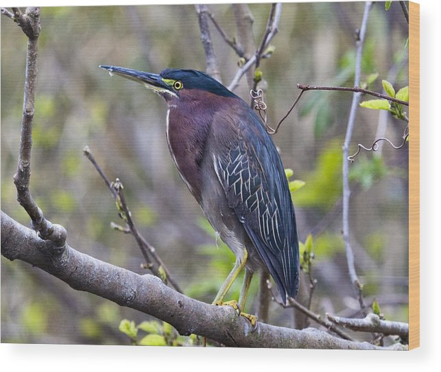 Birds Wood Print featuring the photograph Little Green Heron by Frank Russell