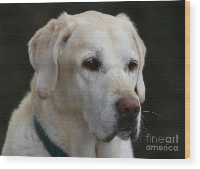 Yellow Lab Wood Print featuring the photograph Man's Best Friend by Sandy Buckley
