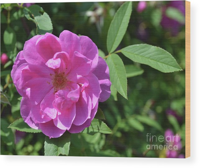 Rose Wood Print featuring the photograph Pink Chestnut Rose by Eva Thomas