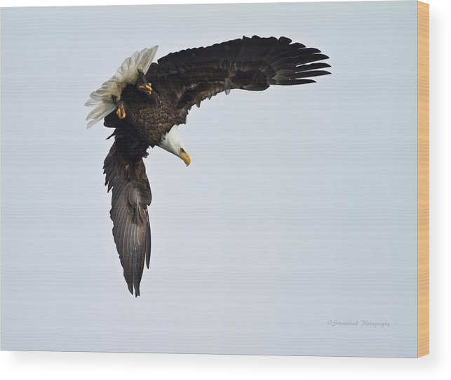 Bald Eagle Wood Print featuring the photograph Ready To Dive by Straublund Photography