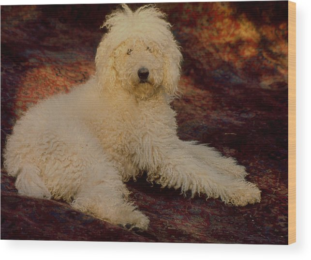 Poodle Wood Print featuring the photograph Rommyangelo by Terrell Gates