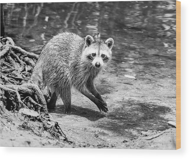 Raccoon Wood Print featuring the photograph Shrimp Sushi Bw by Norman Johnson