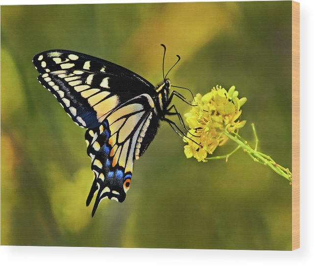 Butterfly Wood Print featuring the photograph Swallowtail Butterfly by Armando Picciotto
