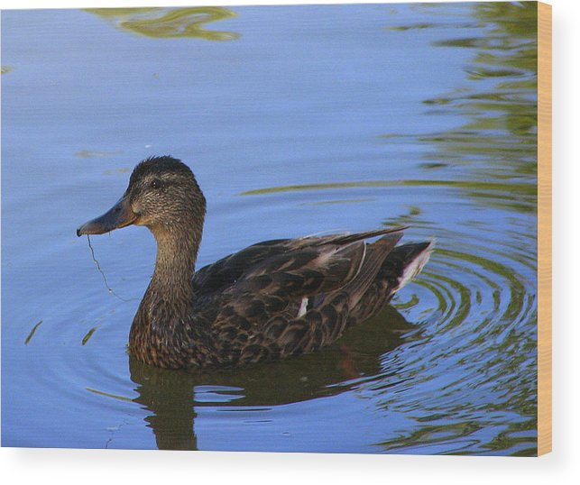 Ducky Wood Print featuring the photograph Swimming Alone by Kathy Roncarati
