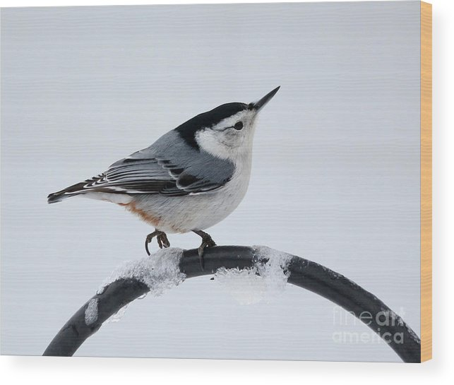 Trees Wood Print featuring the photograph White-breasted Nuthatch by Lori Tordsen
