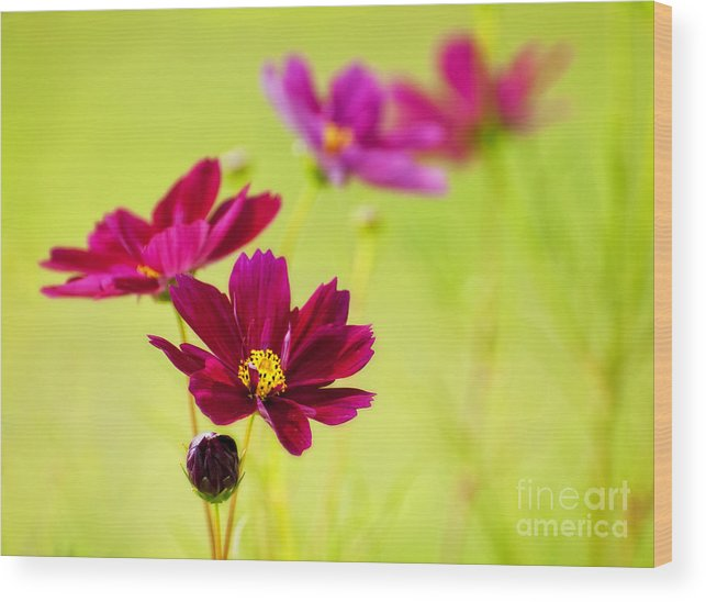 Cosmos Wood Print featuring the photograph Cosmos by Claudia Kuhn