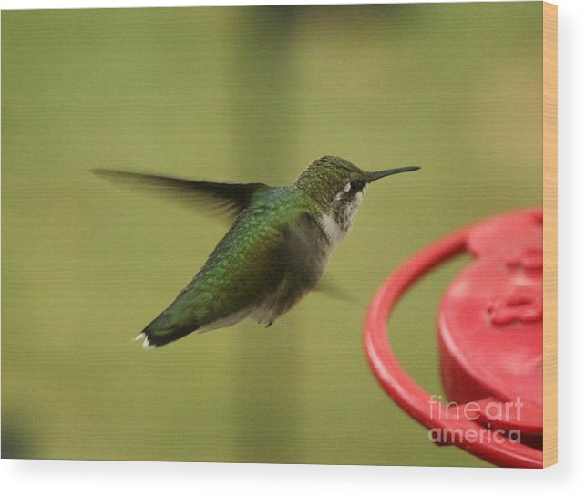 Ruby-throated Hummingbird Wood Print featuring the photograph Ruby-throated Hummingbird by Lori Tordsen