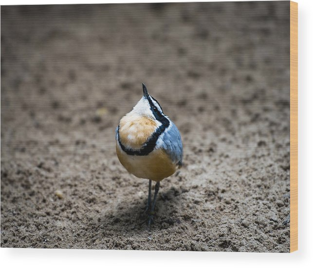 Birds Wood Print featuring the photograph Egyptian Plover by Phil Abrams