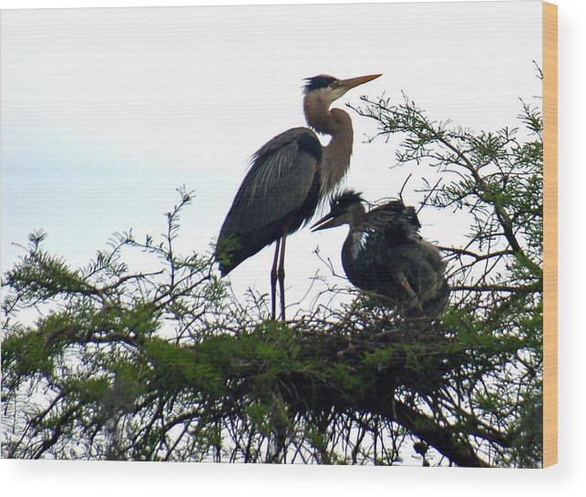 Blue Heron Wood Print featuring the photograph Great Blue Heron With Fledglings II by Suzanne Gaff