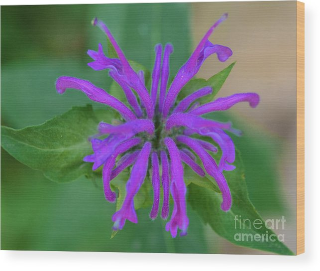 Lavender Bloom Photographed In The Colorado Mountains Wood Print featuring the digital art Lavender Bloom by Mae Wertz