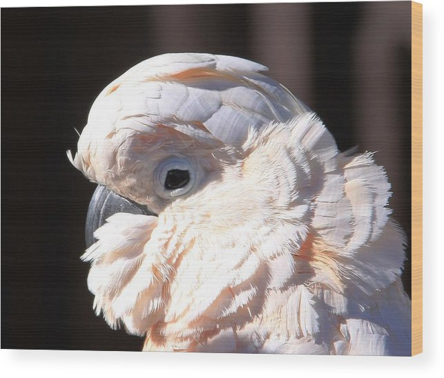 Cockatoo Head Shot Wood Print featuring the photograph Pretty In Pink Salmon-crested Cockatoo Portrait by Andrea Lazar