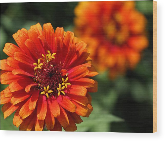 Zinnia Wood Print featuring the photograph Bold by Katherine White