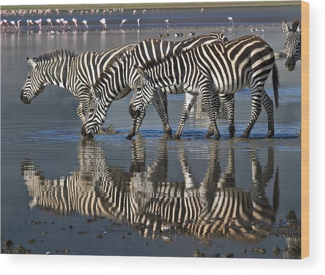 Ngorongoro Crater Wood Print featuring the photograph Zebras Drinking Ngorongoro Crater Tanzania by Boyd Norton