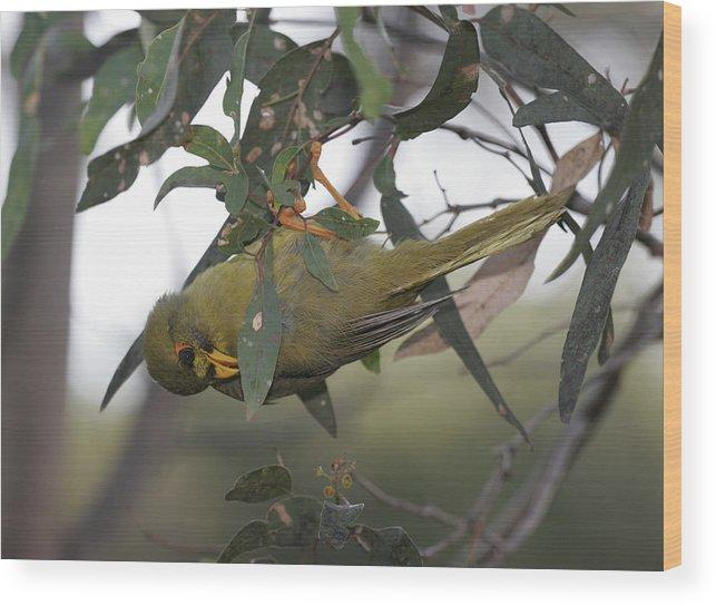 Bellbird Wood Print featuring the photograph Bellbird by Masami Iida