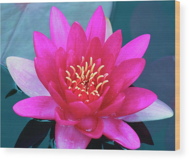 Plant Wood Print featuring the photograph A Red And Yellow Water Lily Flower by Derrick Neill