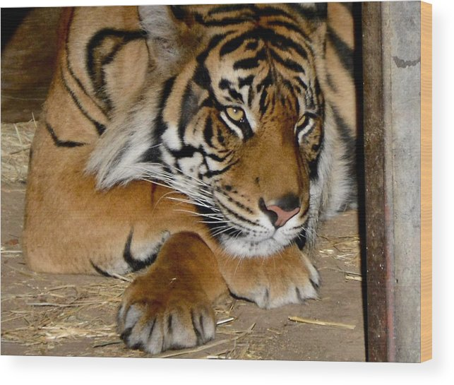Tiger Wood Print featuring the photograph Dreamy by Jacqueline Howe