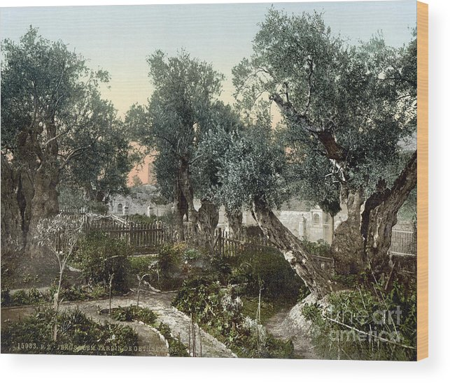 1900 Wood Print featuring the photograph Garden Of Gethsemane by Granger