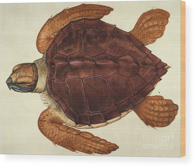 1585 Wood Print featuring the photograph Loggerhead Turtle, 1585 by Granger