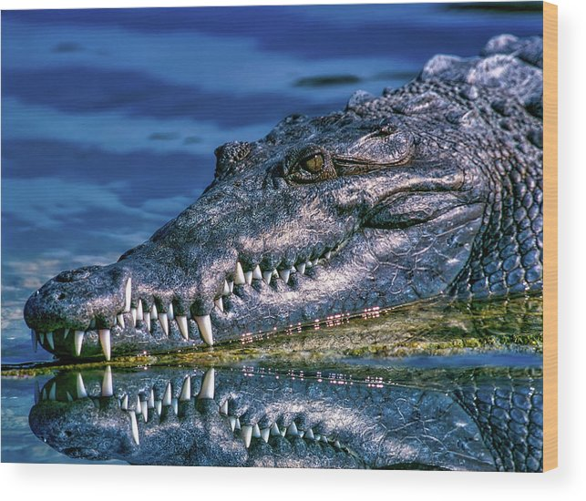 Alligator Wood Print featuring the photograph Toothy Grin by Pedro Lastra