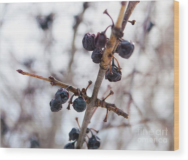 Markham Wood Print featuring the photograph Winter Berries by Gary Chapple