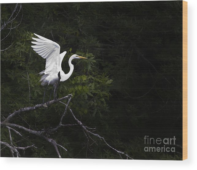 Bird Wood Print featuring the photograph White Egret's Takeoff by J L Woody Wooden