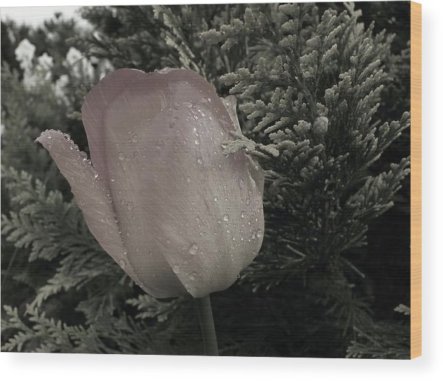 Tulip Wood Print featuring the photograph 226. by Pavel Jankasek