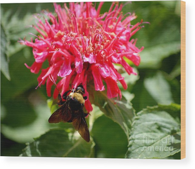 Bee Balm Wood Print featuring the digital art Bee On Bee Balm Flower by Glenn Morimoto