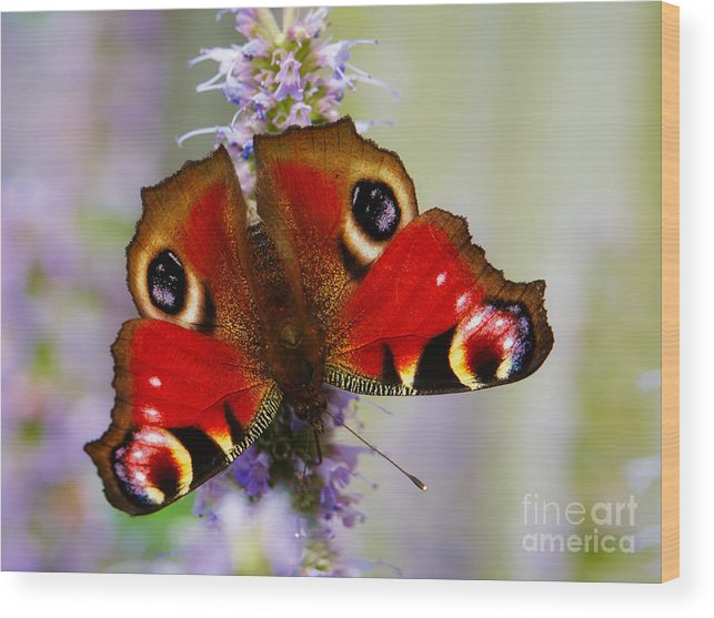 Closeup Wood Print featuring the photograph Closeup Of An European Peacock by Nick Biemans