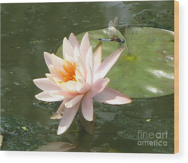 Dragon Fly Wood Print featuring the photograph Dragonfly Landing by Amanda Barcon