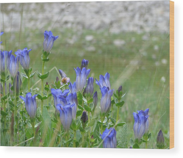 Gentiana Spp. Wood Print featuring the photograph Gentian Wildflowers by Pam Little