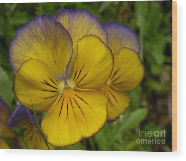 Pansy Wood Print featuring the photograph Pansies by Val Carosella