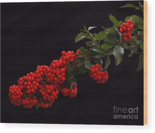 Winter Wood Print featuring the photograph Pyracantha Berries On Black - Pennsylvania by Anna Lisa Yoder
