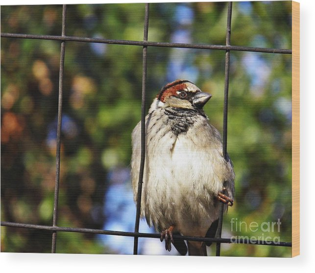 Sparrow On A Wire Fence Wood Print featuring the photograph Sparrow On A Wire Fence by Sarah Loft