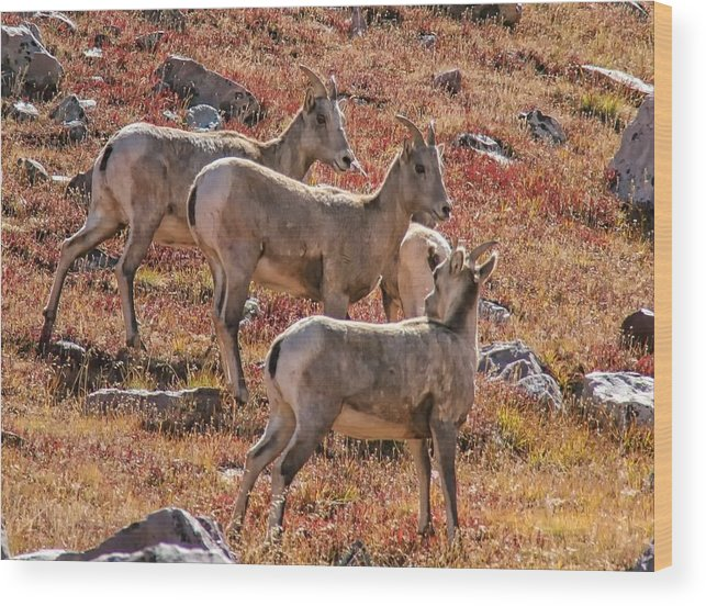 Wild Animals Wood Print featuring the photograph Three Goats by Mitch Johanson