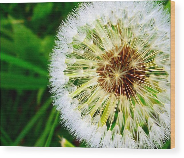 Weed Wood Print featuring the photograph Dandelion by Sherry Kepp