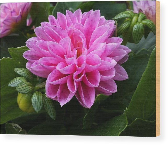 Dahlia Wood Print featuring the photograph Pink Dahlia by Selina Bland