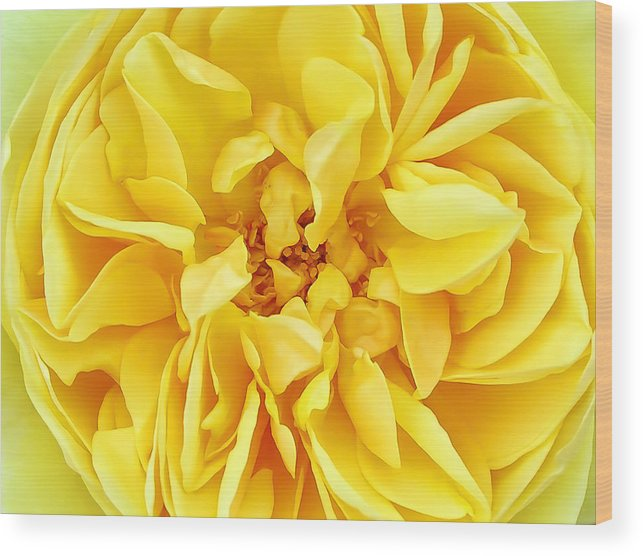 Macro Wood Print featuring the photograph Sunny Yellow Rose With Petals And Stamens - Macro Flower Photography by Chantal PhotoPix