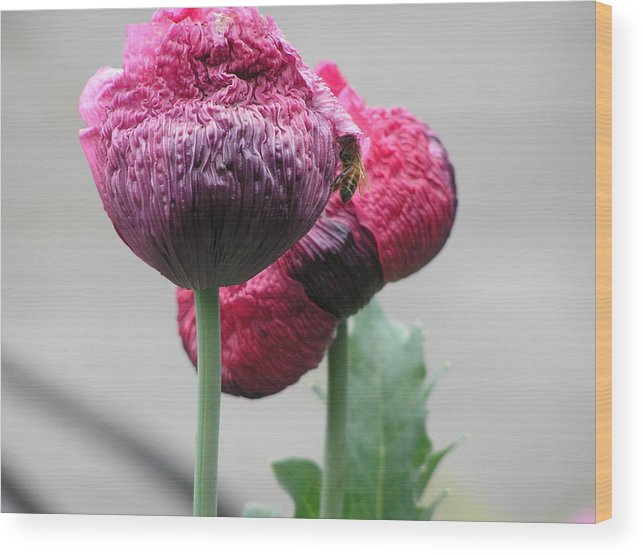 Poppy Wood Print featuring the photograph Poppy by Helen Penwill